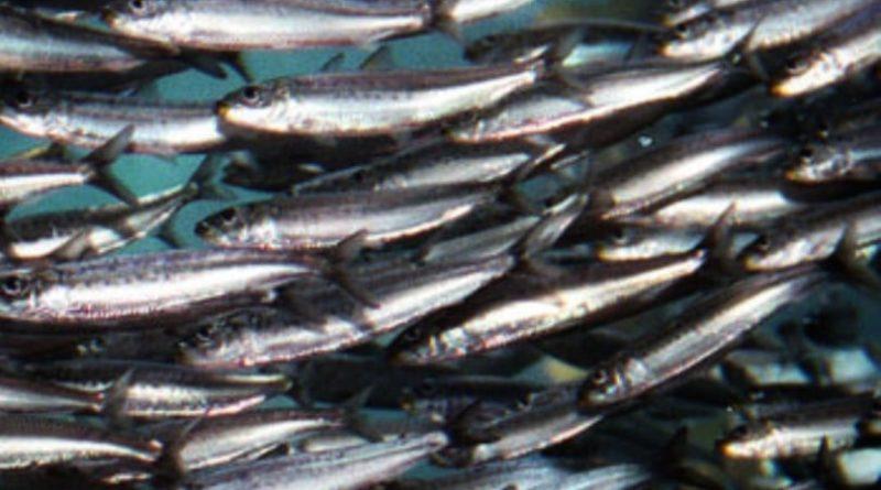 Le sardine: la semplificazione infantile di un dibattito politico.