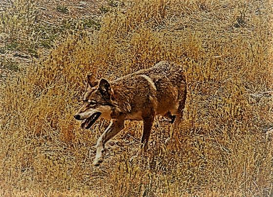 l lupo è l'emblema della persecuzione che l'uomo compie sulla natura